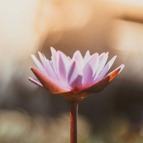 lotus_sq