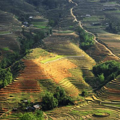 Asian Rice field