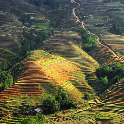 Asian Rice field