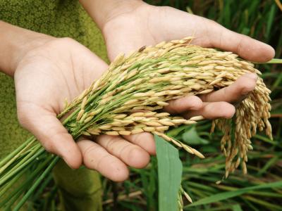 Rice Ingredient selection